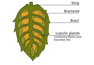 Our Gainesville, FL area patients know that hops can have a beneficial effect on your teeth.